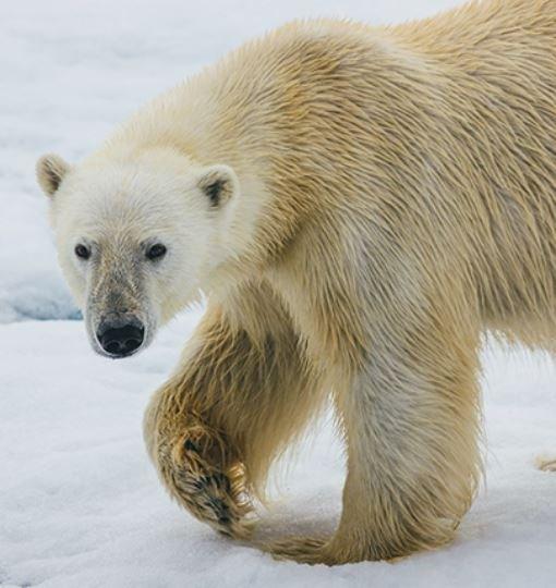 Regatul_Ursului_Polar